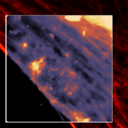 Simultaneous AFM and STED of Living fibroblasts - Actin Filament Imaging