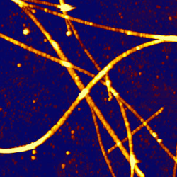 Microtubules – AFM with fluorescence